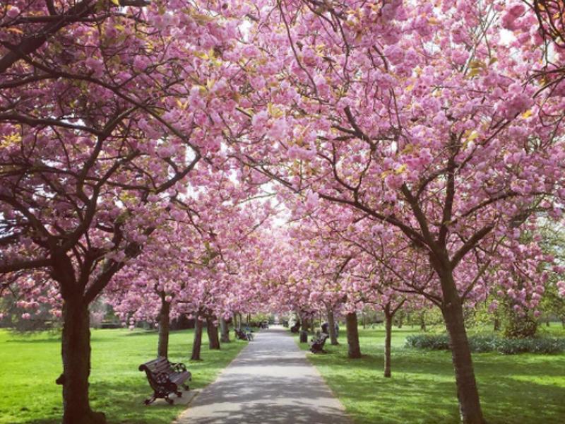 Cherry Blossom Park Near Me
